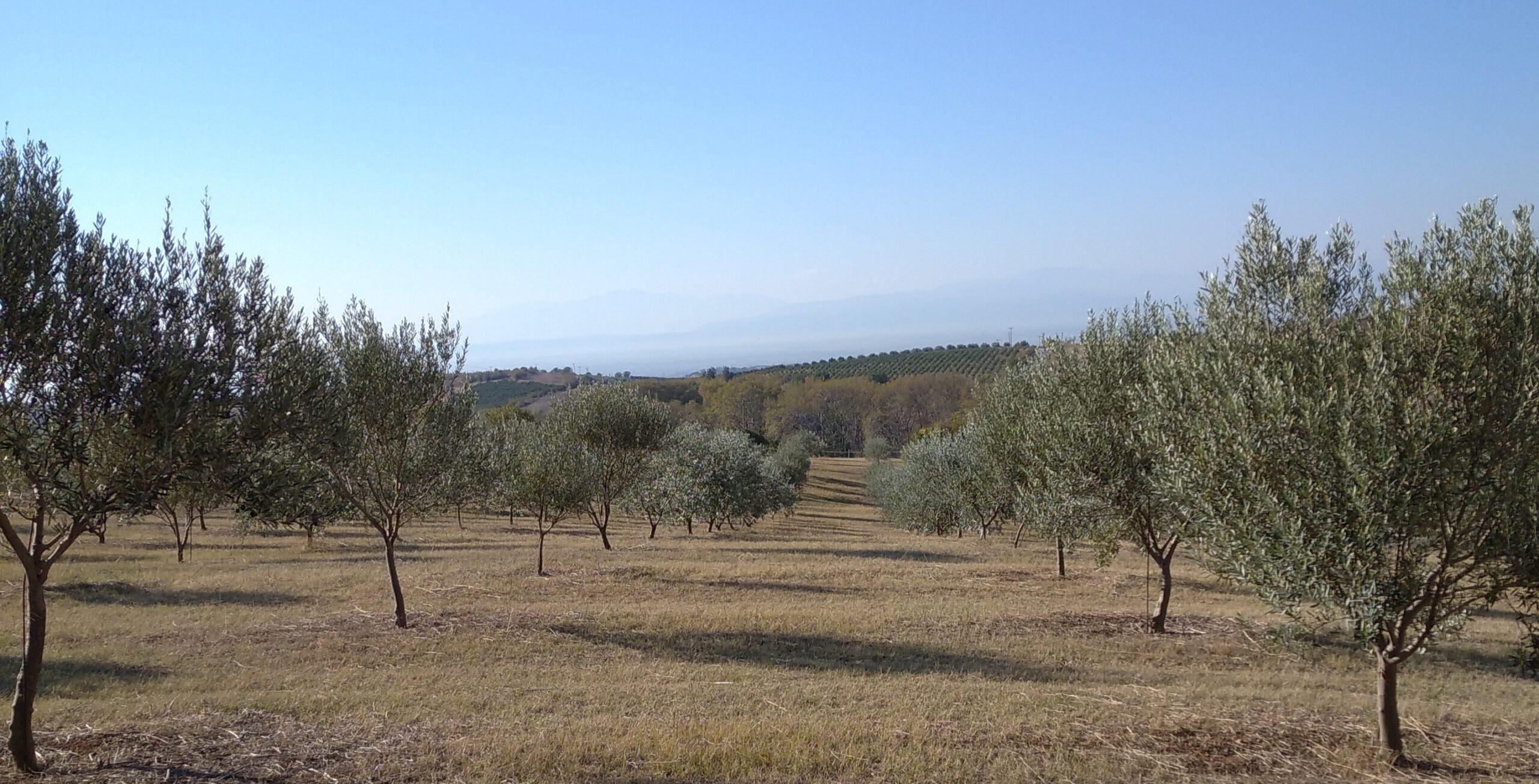 Aspida Olivenbäume ELEA