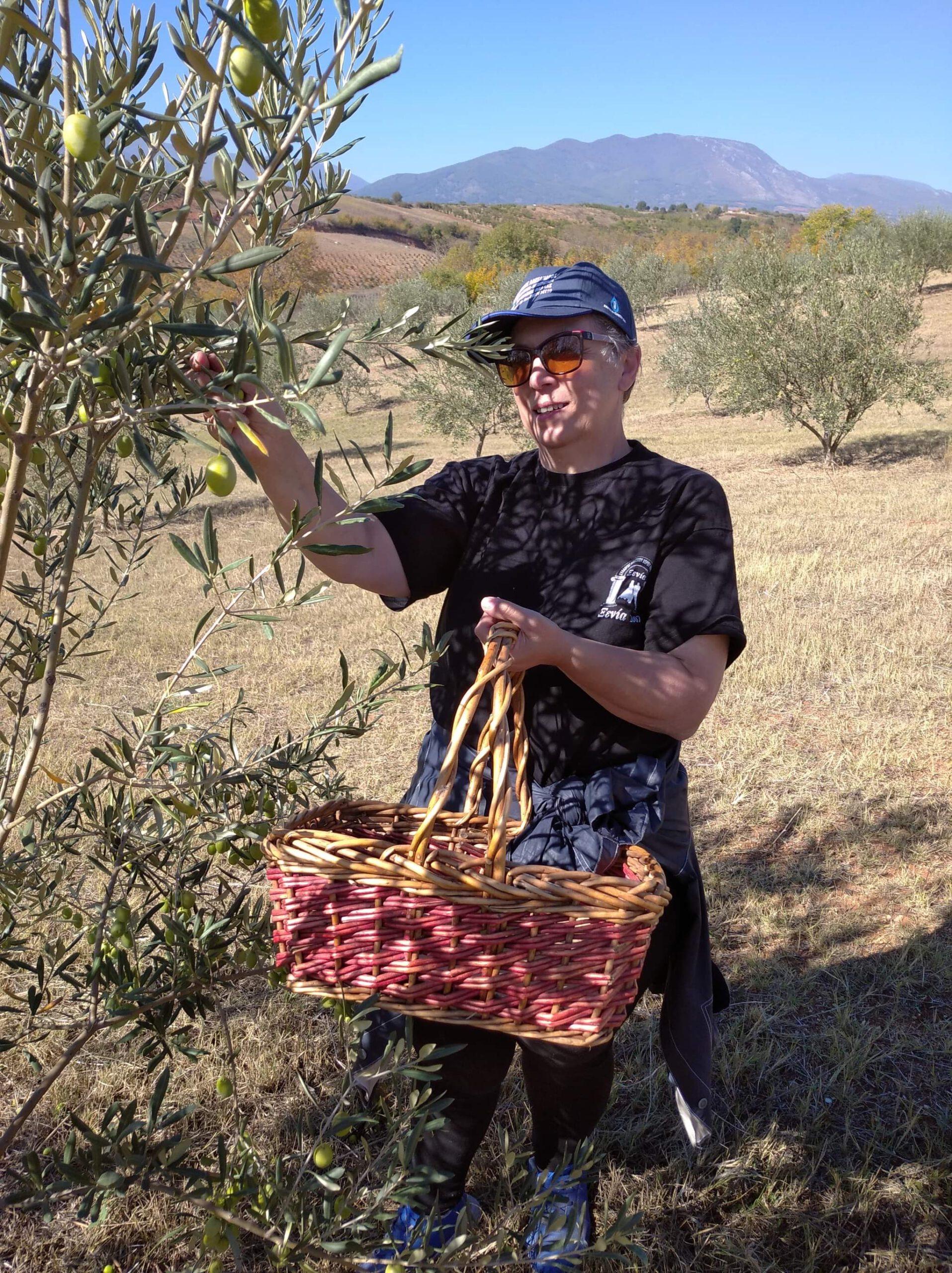 Aspida Olivenöl Ernte